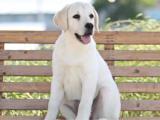 福建福州纯种拉布拉多幼犬多少钱能买
