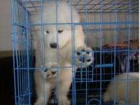 名犬直销 萨摩耶 金毛 哈士奇 拉布拉多 阿拉斯加等幼犬出售