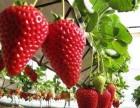开心草莓采摘
