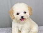 韩版小体泰迪熊幼犬出售 疫苗驱虫做完包健康