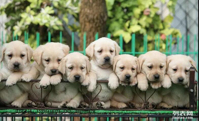出售纯种优良2个月到3个月左右的拉布拉多犬