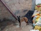 马犬出售或换3-9个月的格力犬