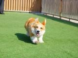 高品质柯基幼犬出售 繁殖基地精心繁育 保证健康