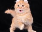 纯种加菲猫DDMM找新家保健康可上门挑选