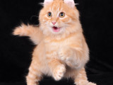 CFA纯种加菲猫颜色齐全带出生纸可送上门挑选