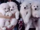 随时退换 三包齐全 签订协议包健康 萨摩耶犬