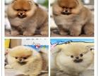 超萌网红俊介犬哈多利球形博美免费送上门包健康