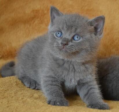 梅州蓝猫养殖出售 本地猫舍 蓝猫价格