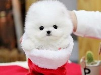 苏州博美犬一本地养殖狗场一直销各种世界名犬 常年售卖