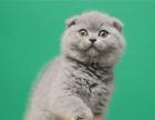 银渐层英短幼猫纯种 折耳猫幼猫纯种折耳猫宠物猫活体