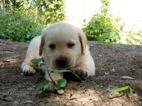 杭州出售拉布拉多幼犬杭州哪里有卖纯种健康拉布拉多犬包健康