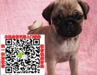 徐州巴哥犬转让什么价格 出售纯种鹰版八哥图片求购宠物狗