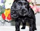 惠州可卡犬哪里有卖 纯种可卡犬多少钱 惠州可卡幼犬价格多少钱