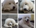 本地大型宠物繁殖基地上门挑选 大白熊犬