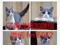 高端精品加菲 CFA高品质种猫繁殖可视频 可空运
