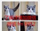 加菲猫 英短 美短 折耳猫 猫舍直销 品相好