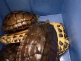 出售自家11年12年南石种龟,可散卖公母,可配组,一起售,支