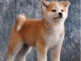 北京宣武普通的秋田犬一般多少钱一只