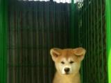 出售高品质日系纯种秋田幼犬 公母齐全 血统优秀