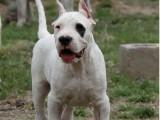 纯种阿根廷杜高犬 杜高幼犬在售中 赛级双血统包健康