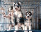 出售纯种哈西伯利亚雪橇哈士奇幼犬 三把火蓝眼睛哈士奇宠物狗