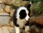 哪里有卖边境牧羊犬的犬舍 边牧好养好训练吗 一般多少钱