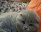 自家蓝猫宝宝求带走