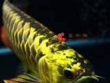 龙鱼金龙鱼蓝底过背超血红龙印尼超血麒麟辣椒绿皮特价蓝底过背
