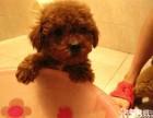 可爱的泰迪好养吗第一次养什么狗狗比较好