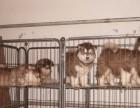 哈尔滨出售阿拉斯加幼犬
