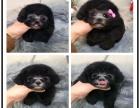 出售茶杯灰泰迪幼犬,超小卡哇伊泰迪犬,包纯种包身体