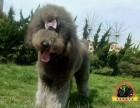 巨型贵宾巨贵可视频12年老店活体宠物小狗狗幼犬公母都有
