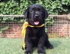 拉布拉多犬-大頭寬嘴-健康品質保障-是你的理想愛寵