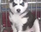 出售蓝眼睛的哈士奇幼犬,狗狗双蓝眼,火字脸,很标准