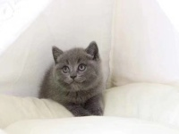 英短藍貓 活波可爱 家庭式繁殖 无病无癣