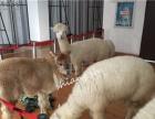上海宠物出租 萌宠服务 羊驼租赁 袋鼠出租 租斑马