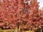 郯城20公分海棠树的价格选择哪家