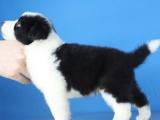 重庆哪里出售边境牧羊犬 聪明可爱的边牧多少钱一只呢
