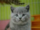 出售英短胖嘟嘟蓝猫幼崽 头大脸圆非常的可会使用猫砂