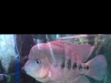 红马罗汉鱼清缸