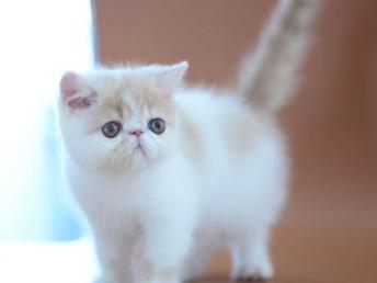 自家加菲貓 精品貓 疫苗做好同城可以送上付門款