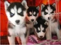苏州哈士奇一本地养殖狗场一直销各种世界名犬 常年售卖