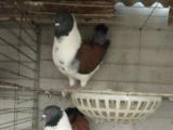 哪里有卖元宝鸽的,元宝鸽在哪有卖的