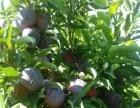 苗圃低价出售李子、果树、桃、杏树等保成活率,可送货