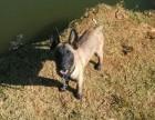 便宜出售三个月的马犬 马犬图片