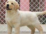 最佳伴侣犬拉布拉多 专业繁殖 品质保证 实物拍摄