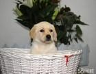精品拉布拉多 赛级品质 神犬小七同款 售后有保障