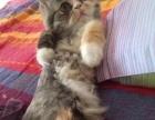 金吉拉猫弟弟 妹妹找新家