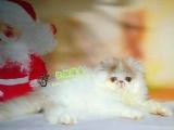 波斯猫 专业猫舍繁殖圆溜溜大眼睛波斯猫公母都有