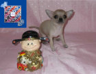 世界最小品种 茶杯吉娃娃 颜色齐全 签合同包活